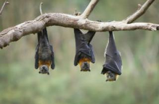 Bats hanging upside down from a tree branch