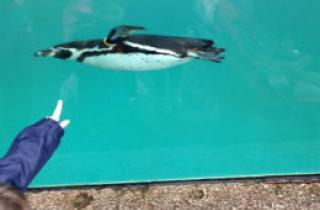 One of the penguins swimming at the Welsh Mountain Zoo