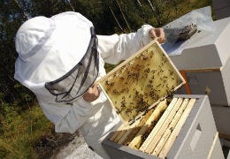 A bee keeper all suited up with an open bee hive