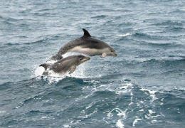 Dolphins jumping out of the water in Cardigan Bay