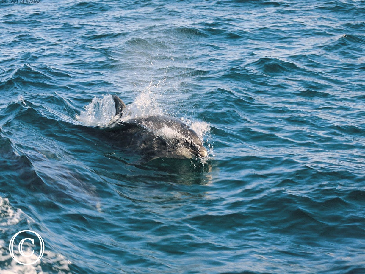 Watch the amazing Cardigan Bay Dolphins from the Cottage