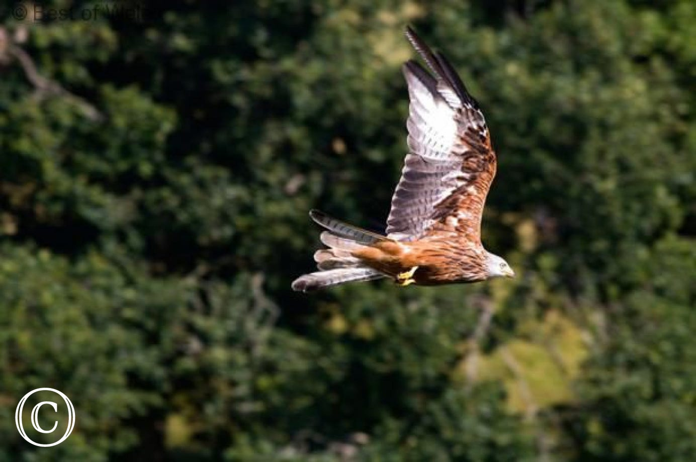 Brynheulwen Holiday Cottage - Red kites nearby
